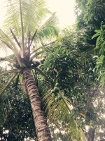 Mangos, Coconuts, Mangos